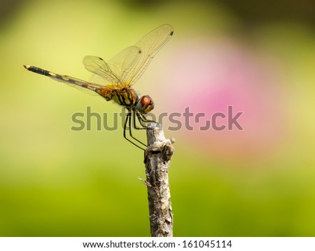 dragonfly outdoor and pink flower in the garden - stock photo