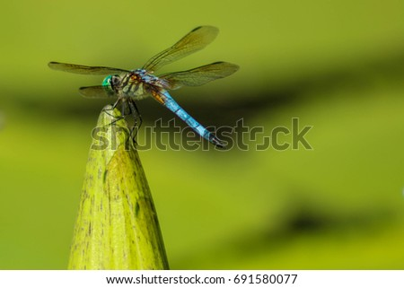 dragonfly perched on waterlily bud with shallow depth of field