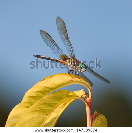 Dragonfly ready to jump off a yellow leaf and eat