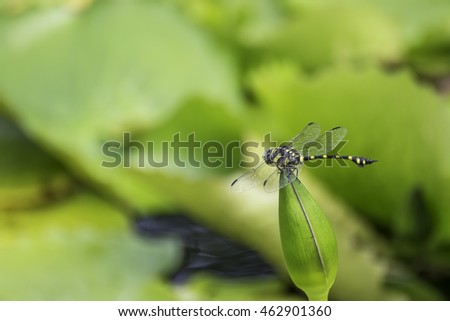 Dragonfly resting on lotus flower in the garden; insects dragonfly/ Dragonfly in blurred nature background