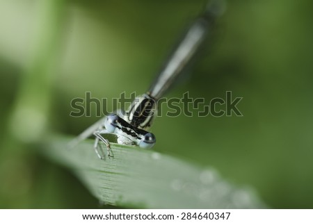 Dragonfly with big and beautiful eyes, holding a green petal grass in search of food