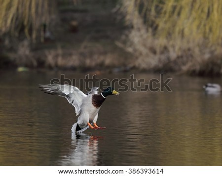 Drake (a male duck) is landing on the water.