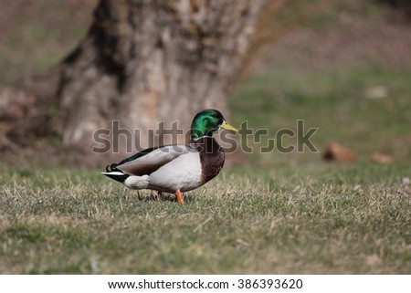 Drake (a male duck) looking for food on the shore of the pond. - stock photo