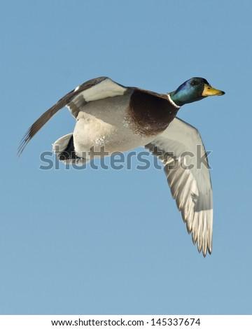 Drake Mallard in Flight - stock photo