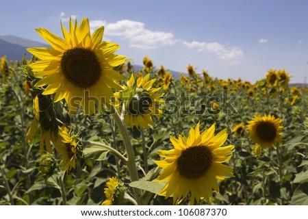 DRAMA, GREECE - JUNE , 24 : a field of biofuels sunflowers on June , 2012 in Drama, Greece. - stock photo