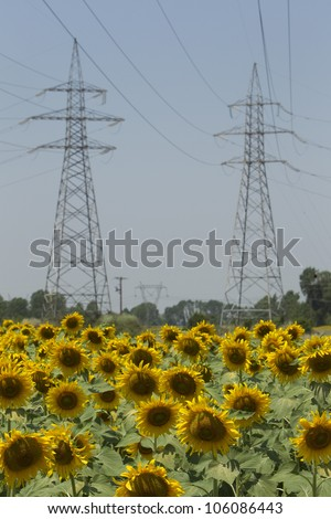 DRAMA, GREECE - JUNE , 24 : a field of biofuels sunflowers with background power pillars on June , 2012 in Drama, Greece.