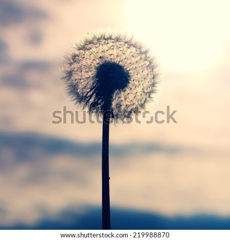Dramatic Autumn sepia photos of a dandelion blow ball, wild flower displaying full seed head. Close up detail of the delicate, light seeds & stem with evening sunset sky in the background - stock photo