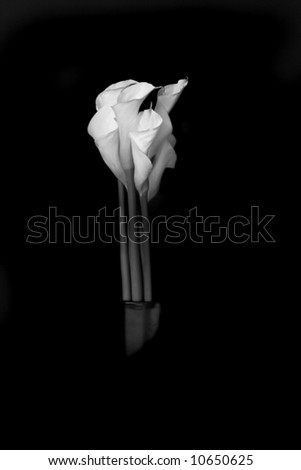 Dramatic Black and White Calla Lilly - stock photo
