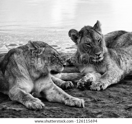 Dramatic Black and White Portrait of Juvenile Lions in the Serengeti Tanzania Africa - stock photo