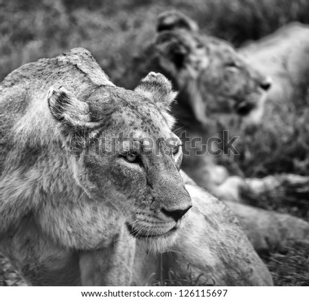 Dramatic Black and White Portrait of Lions in the Serengeti Tanzania Africa