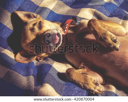 dramatic lighting photo of a puppy sleeping on a plaid blanket with sunshine coming through a window toned with a vintage retro instagram filter effect app or action - stock photo