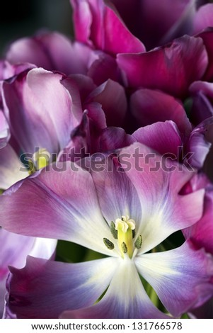 Dramatic Macro Close Up of Dying Pink Tulips - stock photo