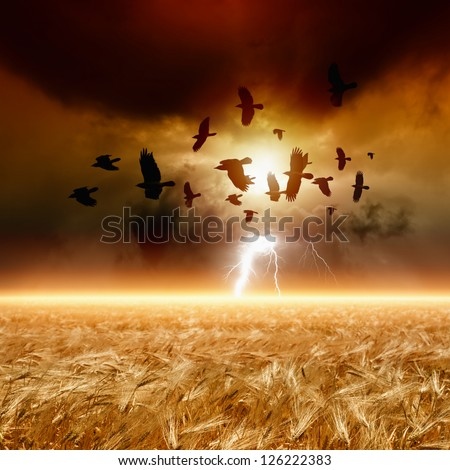 Dramatic nature background - ripe wheat field, dark red sunset, glowing horizon, flock of flying ravens, crows in dark sky with lightning.