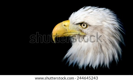 dramatic portrait of a Bald Eagle isolated against a black background with room for text