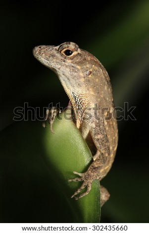 Dramatic Portrait of a Brown Anole - stock photo
