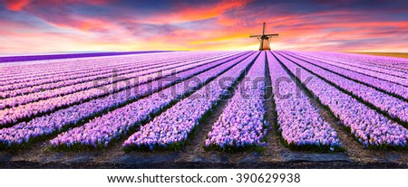 Dramatic spring scene on the flowers farm. Colorful sunset in Netherlands, Europe. Fields of blooming hyacinth flowers in Holland. - stock photo