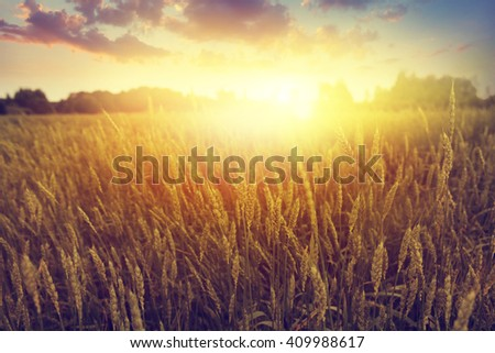 Dramatic sunset over wheat field.