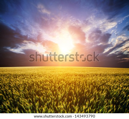 dramatic wheat field background with the sun - stock photo
