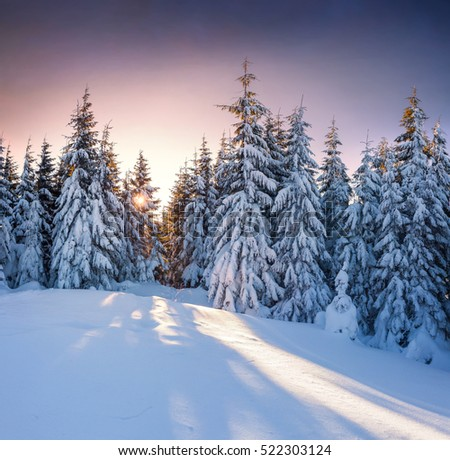 Dramatic winter sunset in Carpathian mountains with snow cowered fit trees. Colorful outdoor scene, Happy New Year celebration concept. Artistic style post processed photo.