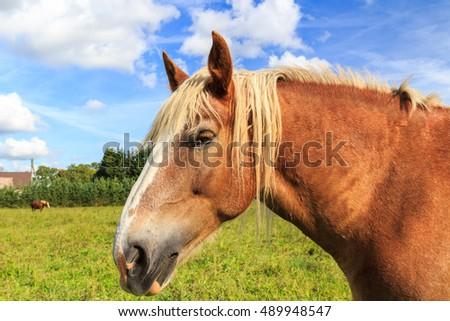 Draught-horse in pasture