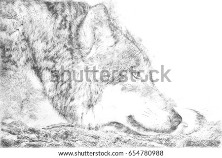 Drawing of a lying wolf on the ground relaxing