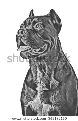 Drawing pencil sketch dog breed Cane Corso, portrait on a white background