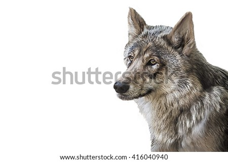 Drawing Wolf hand painted, oil painting illustration, portrait on a white background