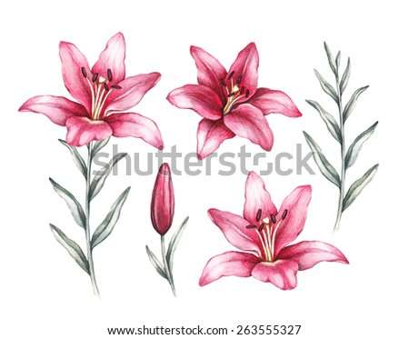 Drawings of lily flowers