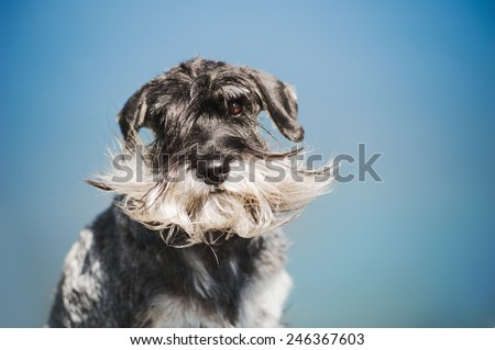 dreamy bearded Schnauzer on a blue outdoors background