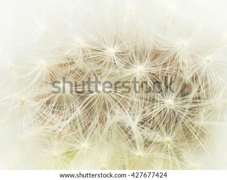 Dreamy dandelion macro. Nature composition. - stock photo