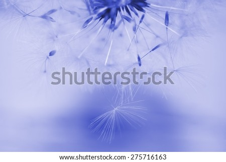 Dreamy image of dandelion seeds falling down - soft focus