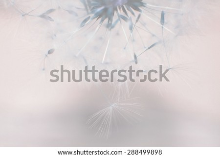 Dreamy image of dandelion seeds falling down - soft focus and faded effects - stock photo