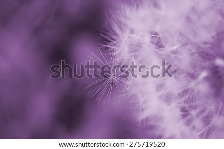 Dreamy image of dandelion seeds - soft focus - stock photo