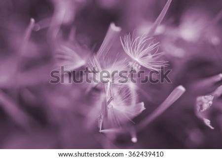 Dreamy image of dandelion seeds - soft focus - stock photo