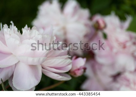 Dreamy, pastel pink peony blossoms fully blooming - stock photo