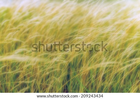 Dreamy weed grass sway by windy weather condition. - stock photo