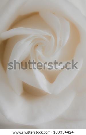 Dreamy white rose close up macro - stock photo