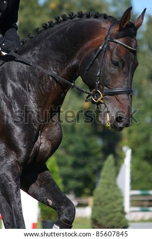 Dressage horse portrait - stock photo