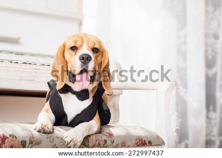 Dressed beagle dogs sitting in beautiful interior