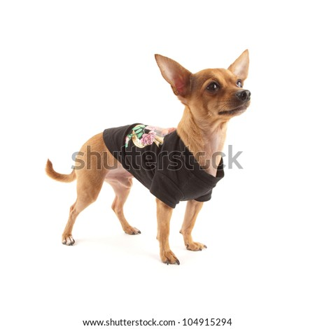 Dressed Chihuahua isolated on white - stock photo
