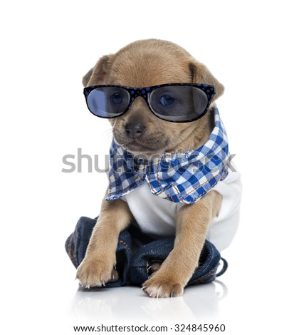 dressed Chihuahua puppy (1 month old) wearing glasses - stock photo