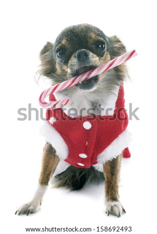 dressed chihuahua with candy in front of white background