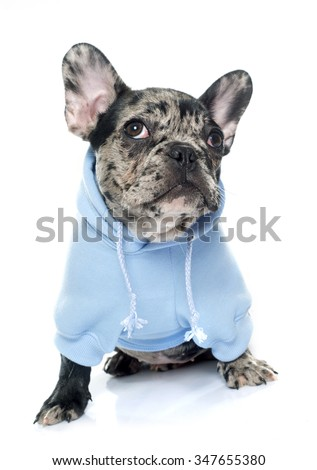 dressed puppy french bulldog in front of white background - stock photo
