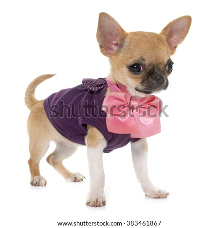 dressed puppy shorthair chihuahua in front of white background
