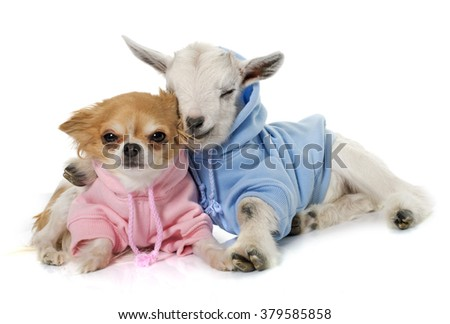 dressed young goat and chihuahua in front of white background