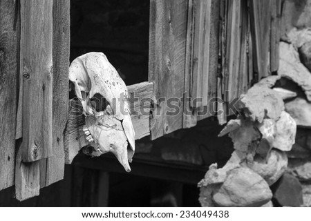 Dried and bleached out cow skull in a Utah ghost town. - stock photo