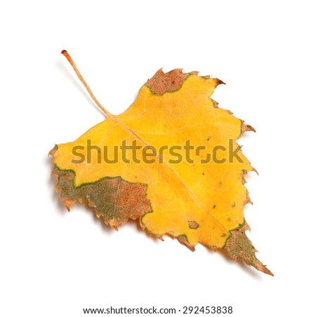 Dried autumn leaf of birch isolated on white background. Close-up view. - stock photo