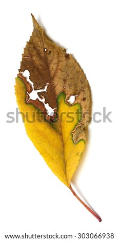 Dried autumn leaf with holes. Isolated on white background. Selective focus - stock photo