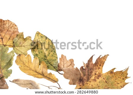 dried autumn leaves on white - stock photo
