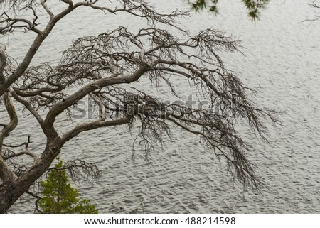 Dried branched pine on the cliff over the boundless expanse of water